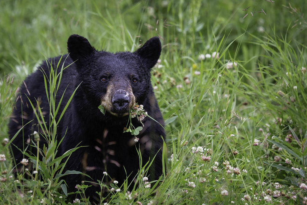 black bear on green grass during daytime