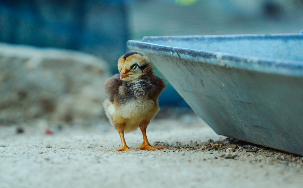 yellow chick on gray concrete wall