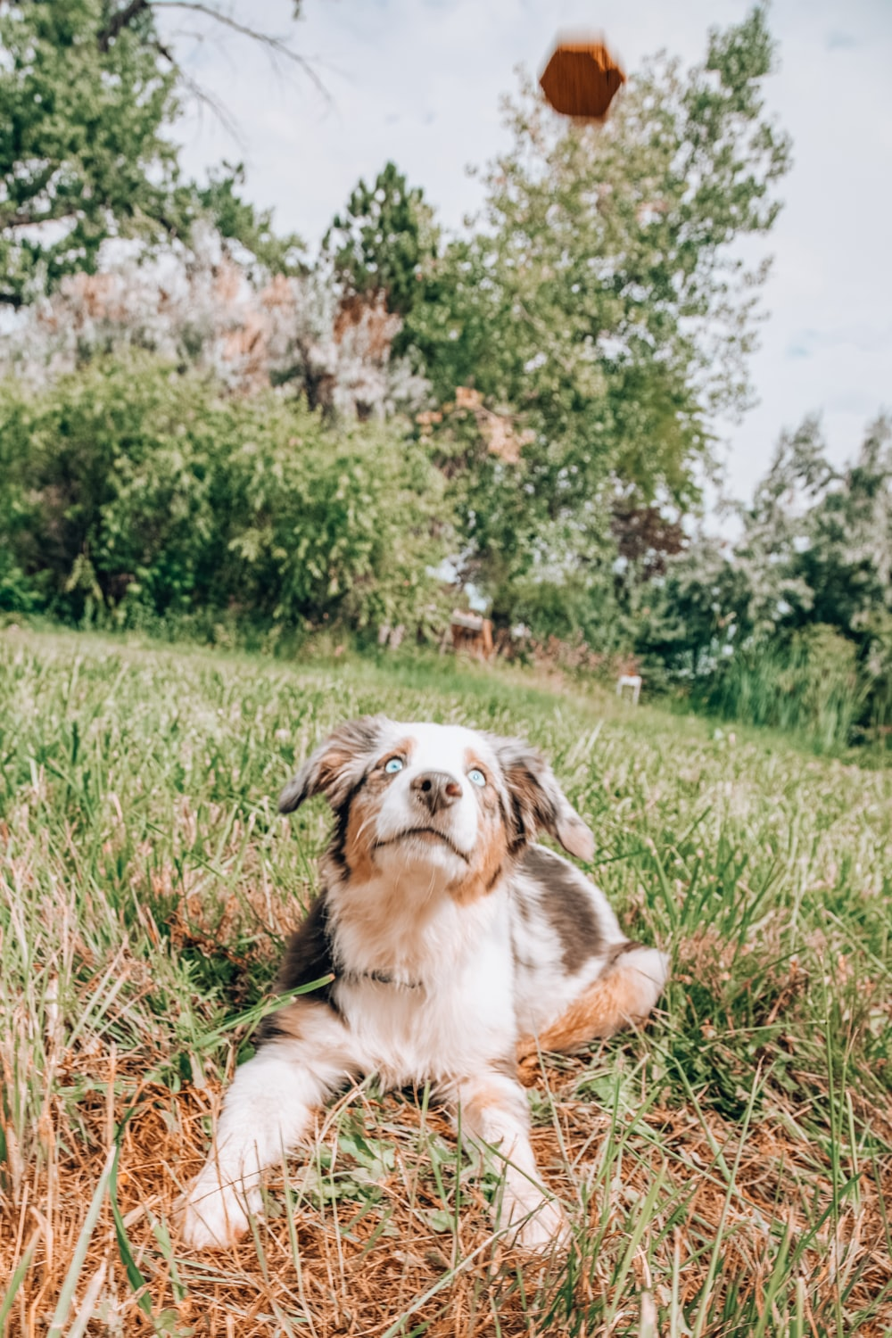 white and brown long coated dog lying on green grass field during daytime