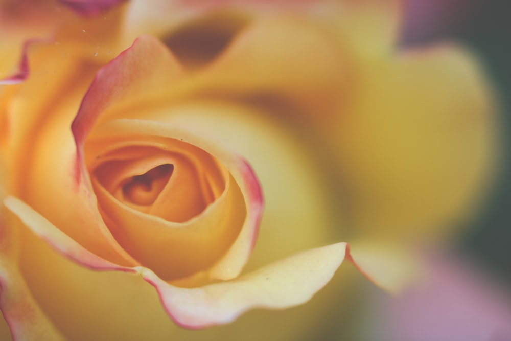yellow and pink rose in bloom close up photo