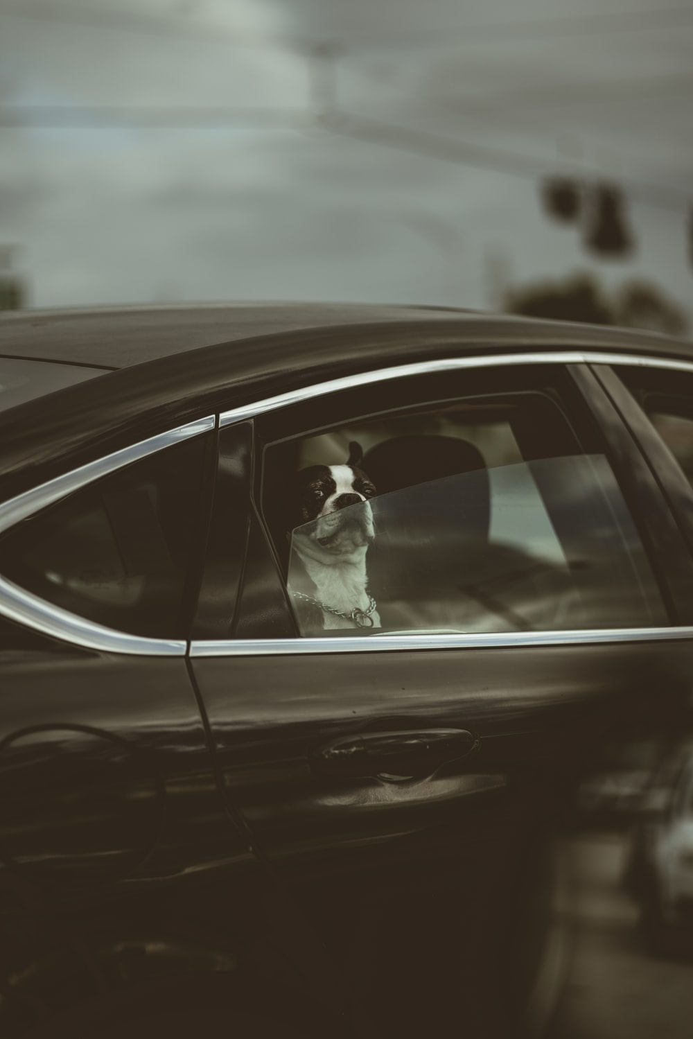 white and black short coated dog on car