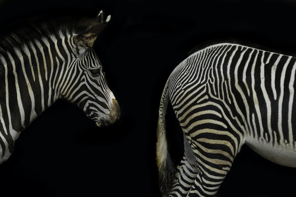 zebra with black background on black background