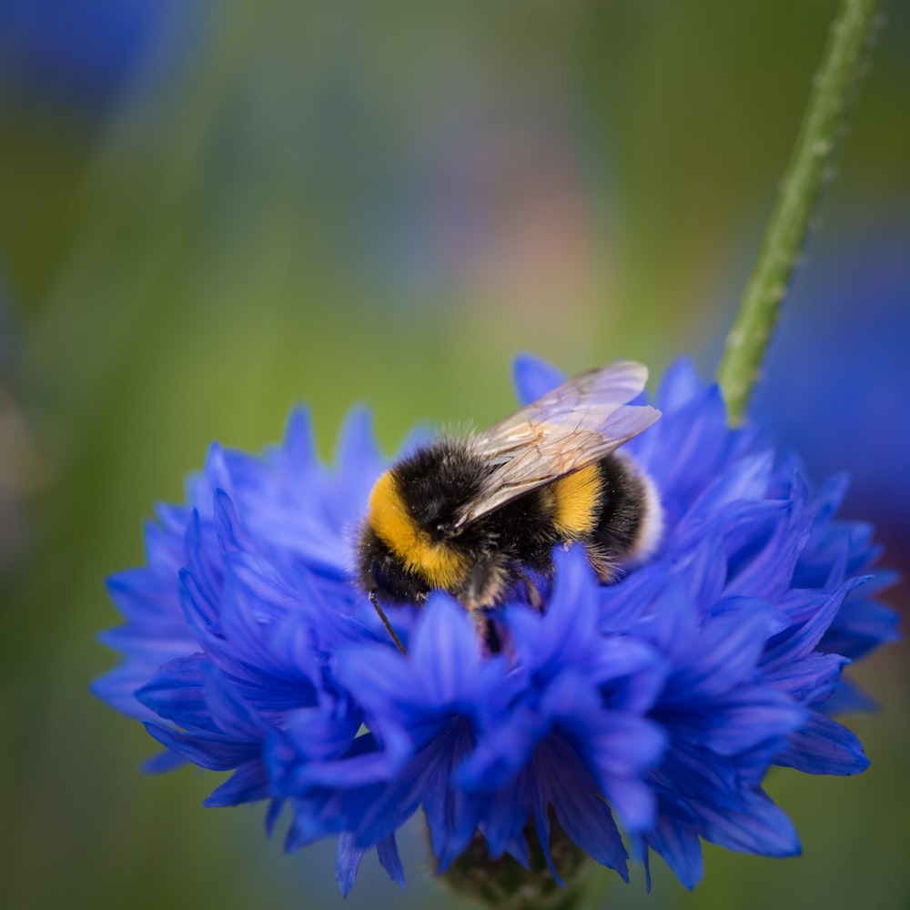 purple flower with black and yellow bee