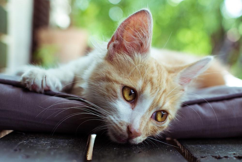 orange tabby cat lying on black leather chair