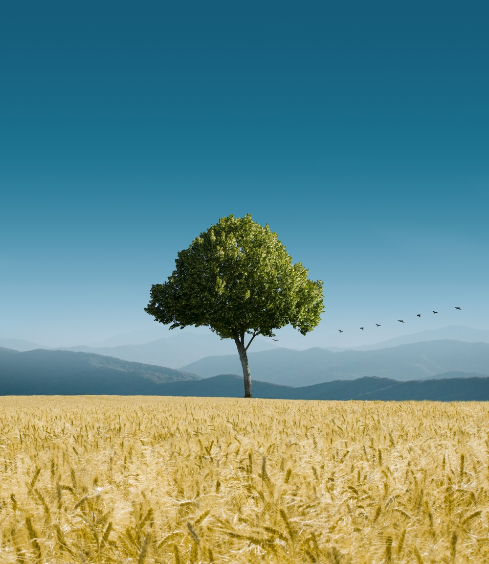 green tree in the middle of the field