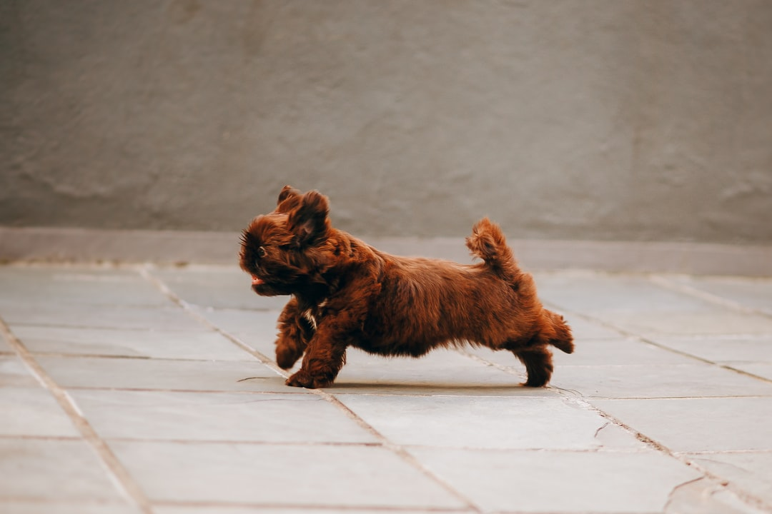 Brown Long Coated Small Dog - unsplash