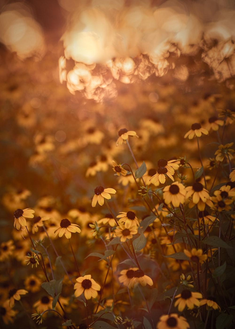 yellow flowers under orange sky