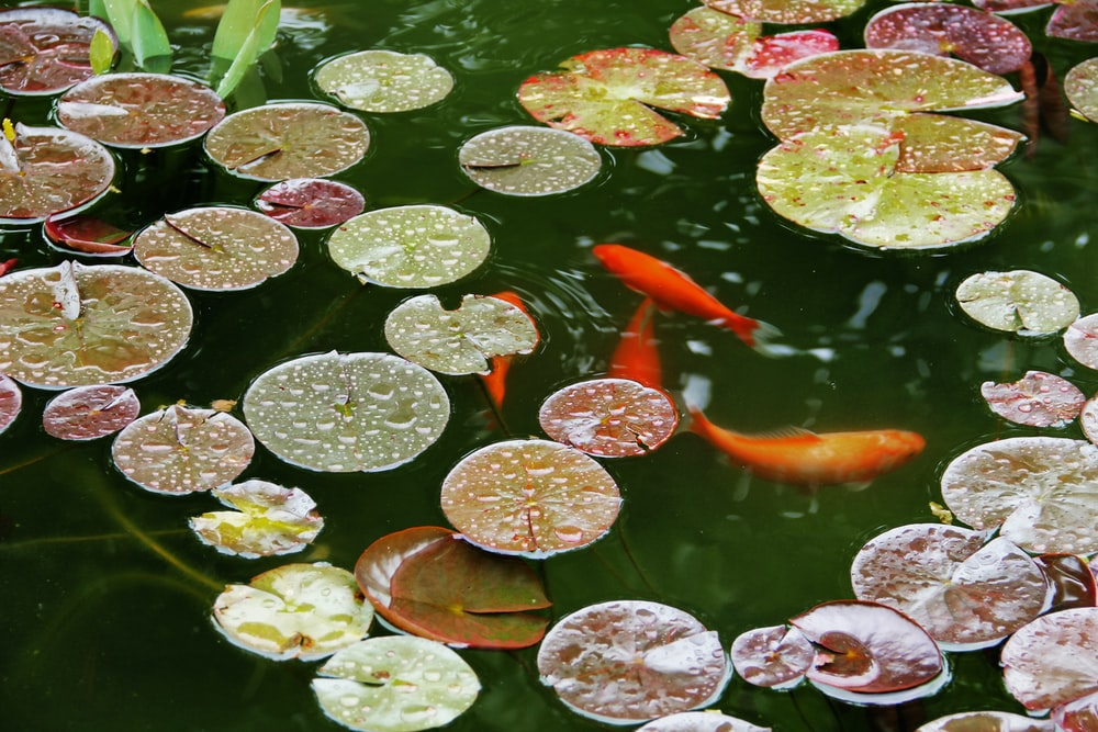 orange koi fish on water