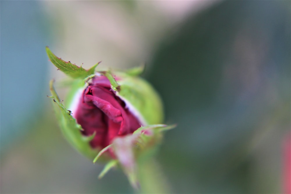 pink rose bud in close up photography