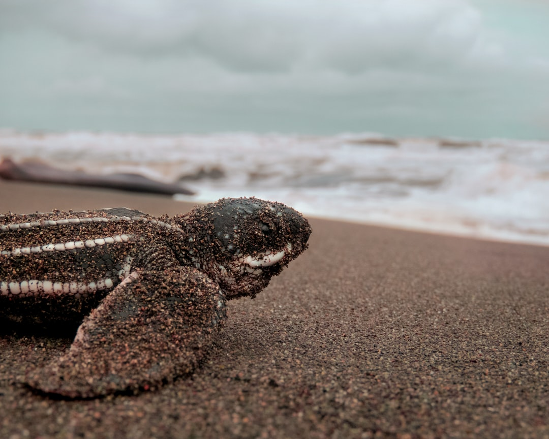 A Leatherback Sea Turtle Hatchling Starts and Begins Its Adventure Into the Vast Unknown, To Grow, To See the World, and To Become Its Adult Self. - unsplash