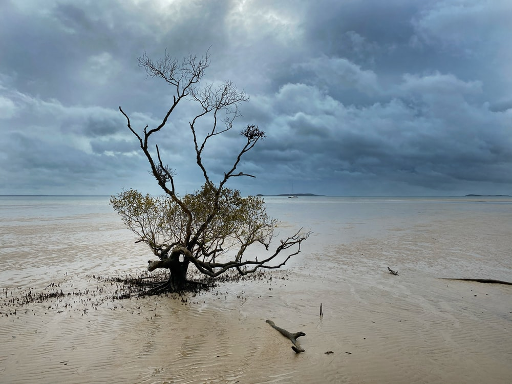 leafless tree on beach shore under cloudy sky