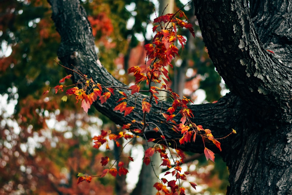 red and brown maple leaves on tree