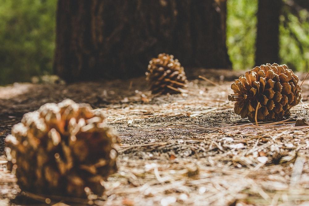 brown pine cone on brown dried leaves