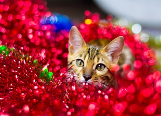 Bengal cat in Christmas red tinsel. the concept of Christmas cards