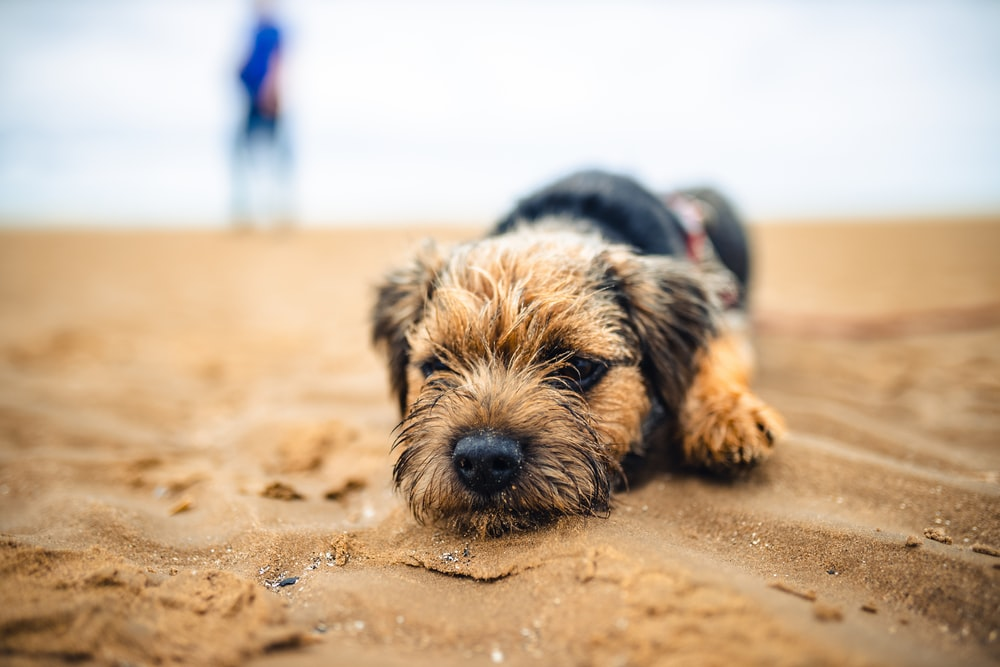 brown and black short coated small dog on brown sand during daytime