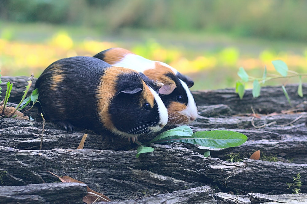 brown white and black guinea pig on brown wooden log