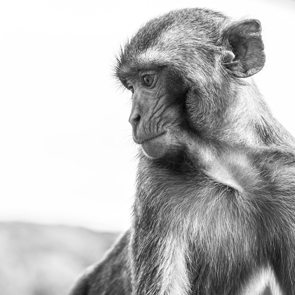 monkey in grayscale photography during daytime
