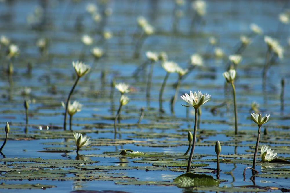 white flowers on water during daytime