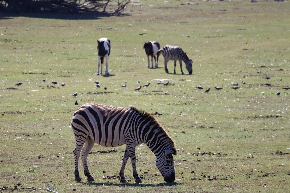 zebra eating grass on green grass field during daytime