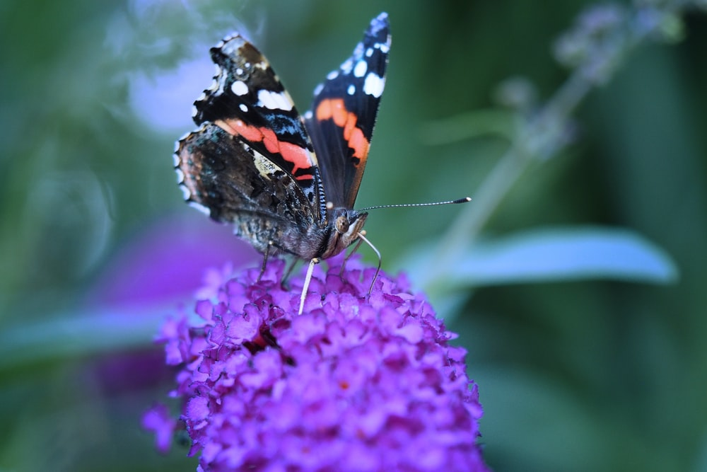 black white and orange butterfly perched on purple flower