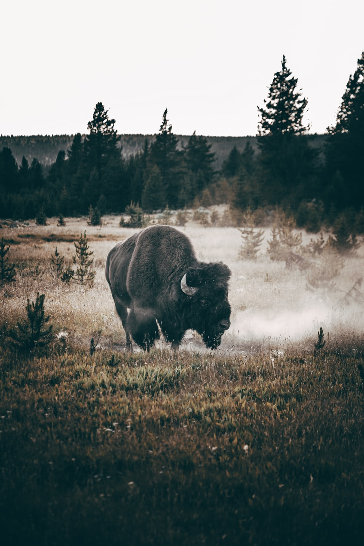 brown bison on brown grass field during daytime