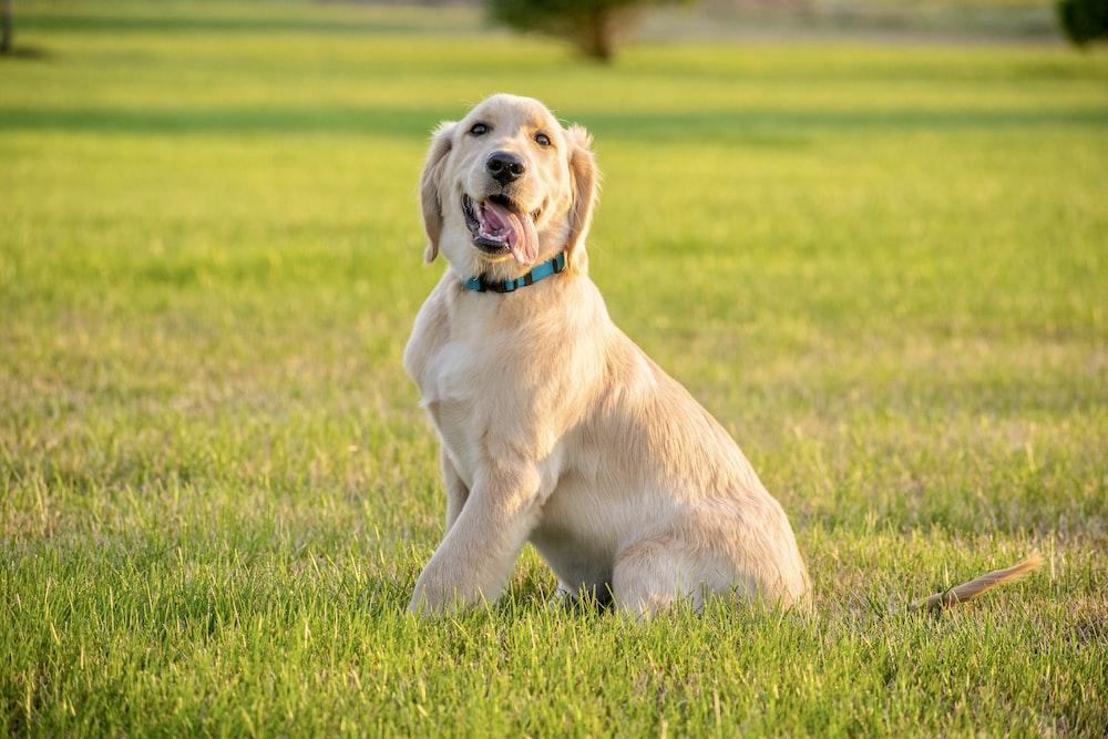 yellow labrador retriever puppy on green grass field during daytime