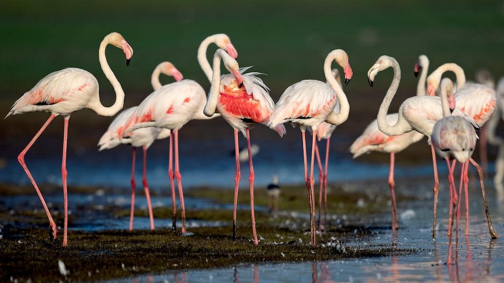 white flamingos on water during daytime