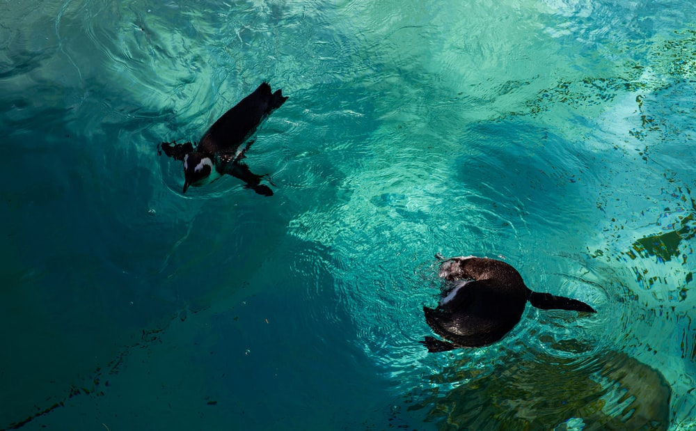 2 black dolphins in water