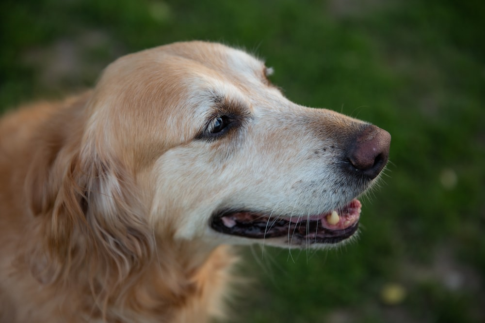 golden retriever dog in close up photography
