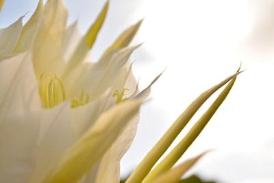 Pitahaya Flower