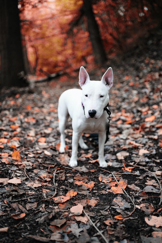 white short coat small dog on brown leaves