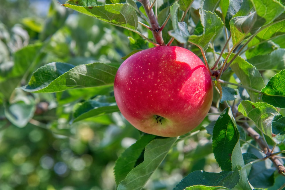 Apple Pictures Hd Download Free Images On Unsplash
