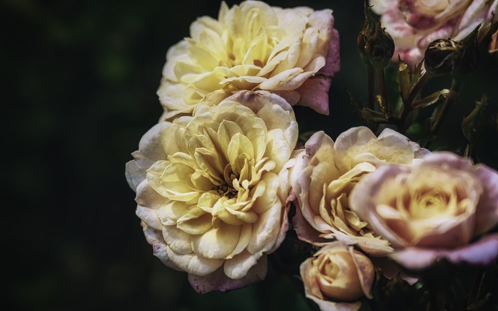 white and pink roses in bloom during daytime