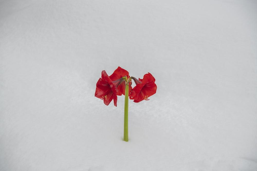 red flower on white snow