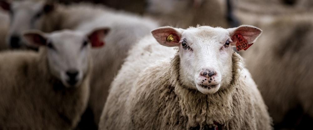 white sheep in tilt shift lens
