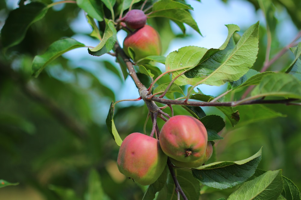 red apple fruit on tree branch