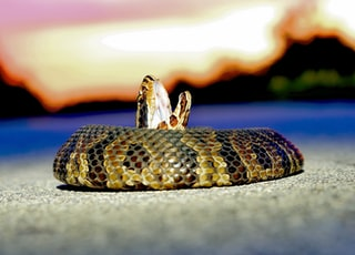 I came across this Cottonmouth or Water Moccasin at sunset after a day of fishing in Everglades National Park and couldn't resist getting within striking range for a few pics.