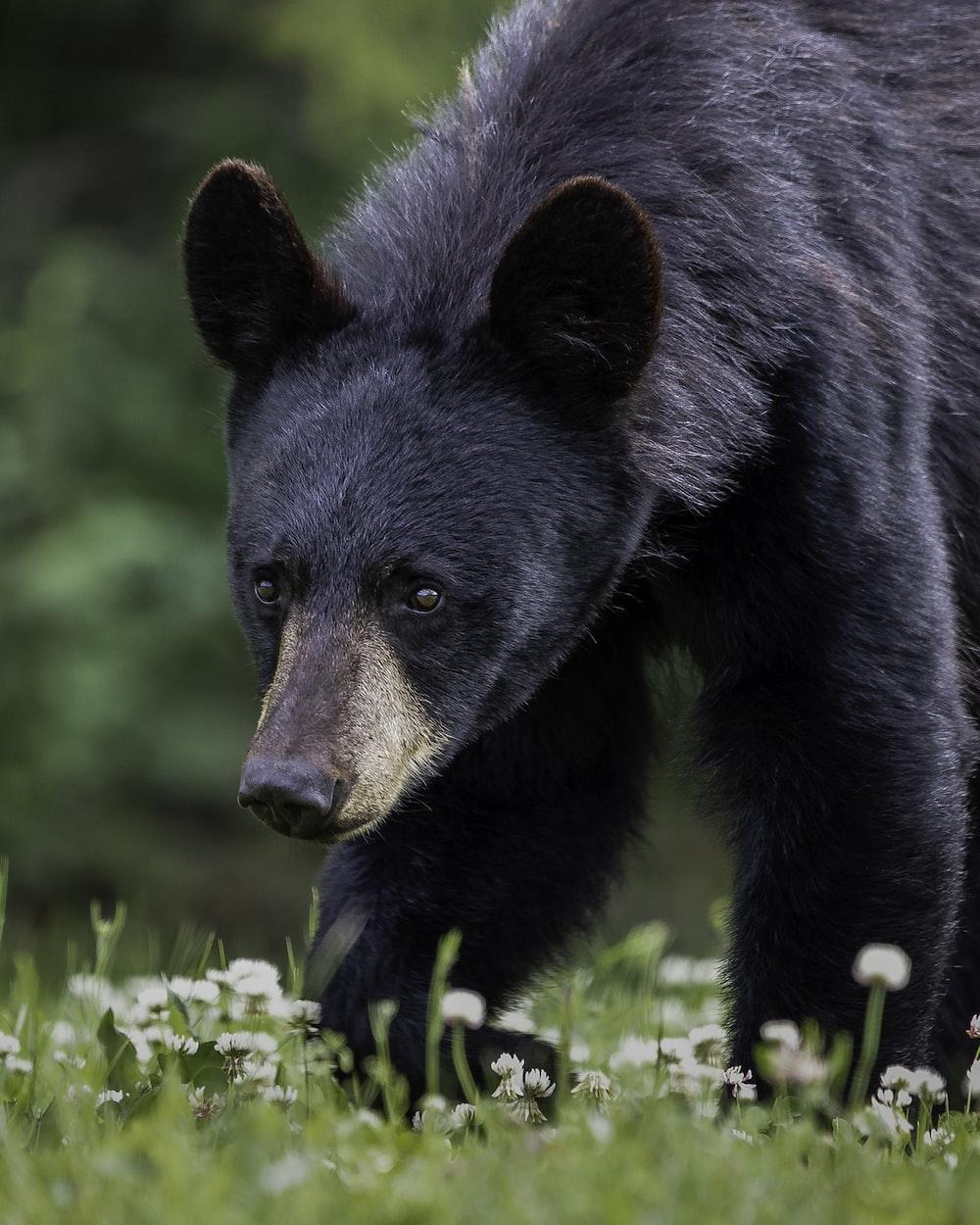 black bear on green grass during daytime