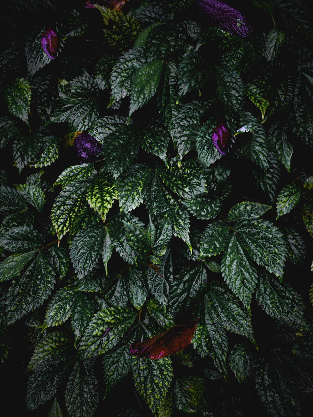green and purple leaves plant