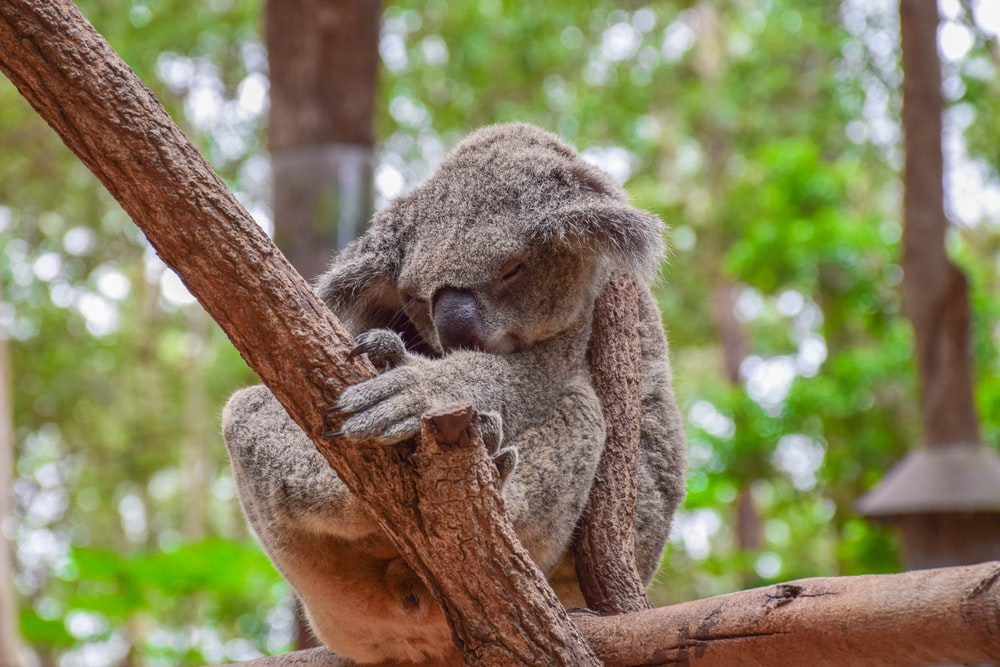 koala bear on brown tree branch during daytime