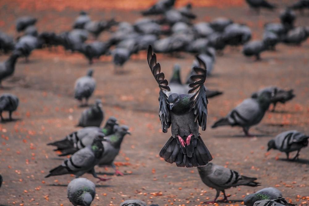 flock of pigeons on brown soil