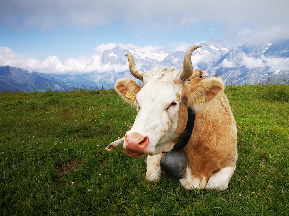brown and white cow on green grass field under blue and white sunny cloudy sky during