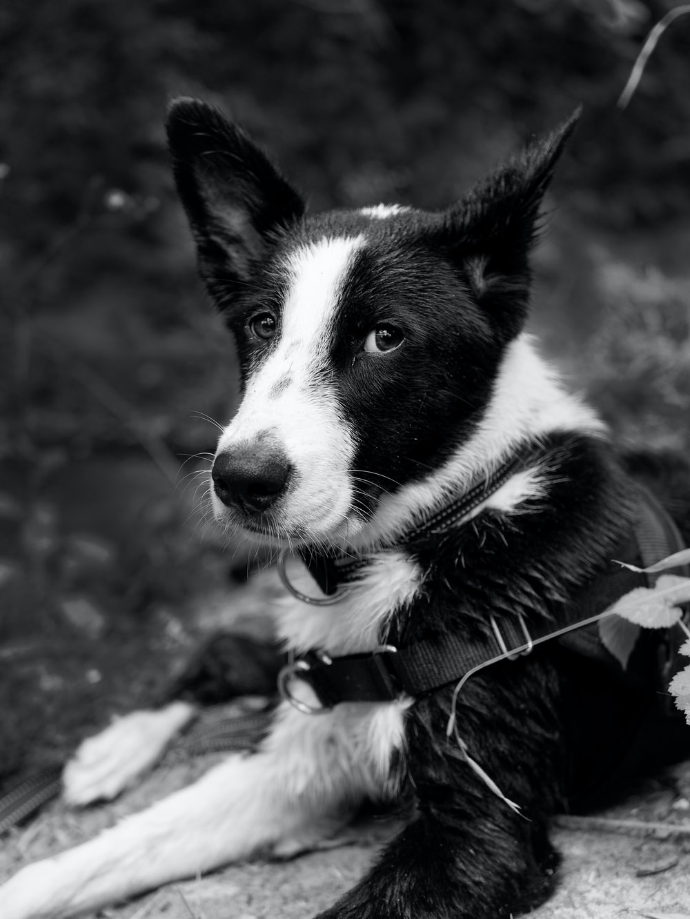 grayscale photo of border collie