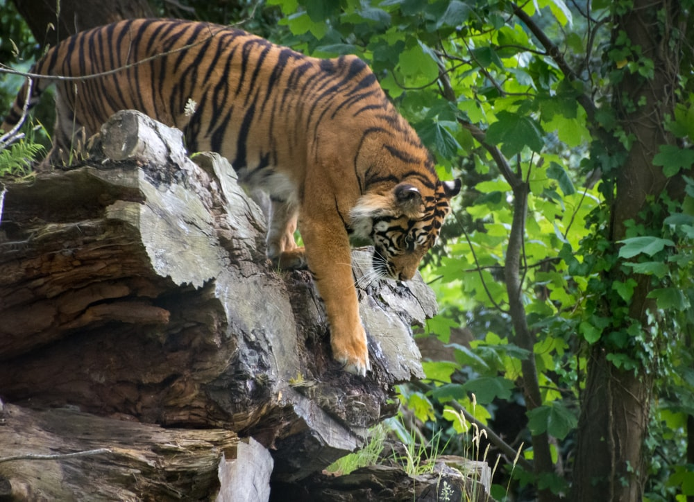 brown tiger on gray tree trunk during daytime