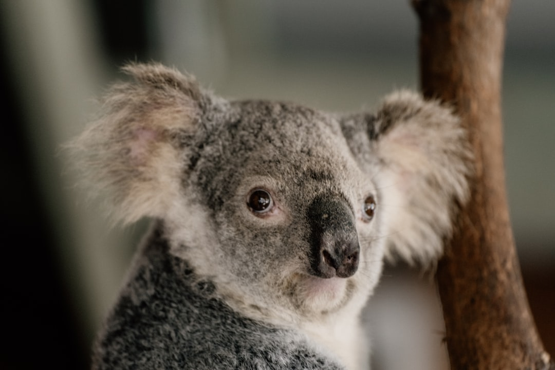 Koala Bear On Brown Tree Branch During Daytime - unsplash
