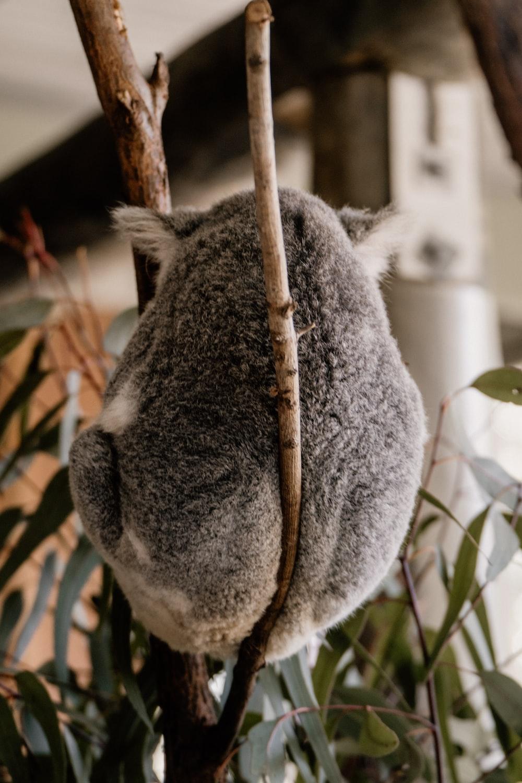 grey koala bear on tree branch during daytime