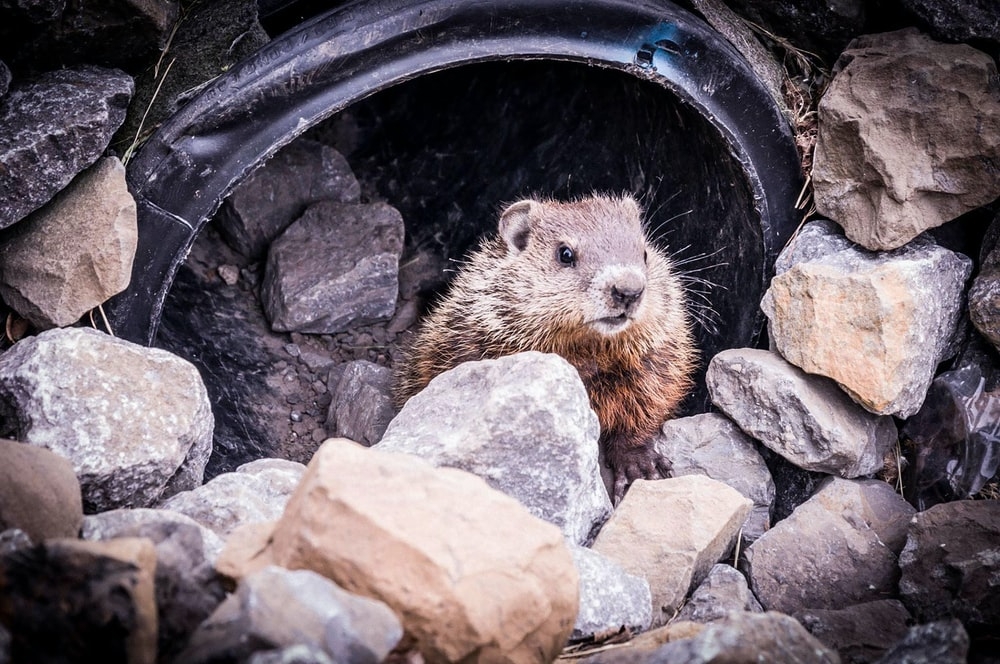 brown rodent in black round container