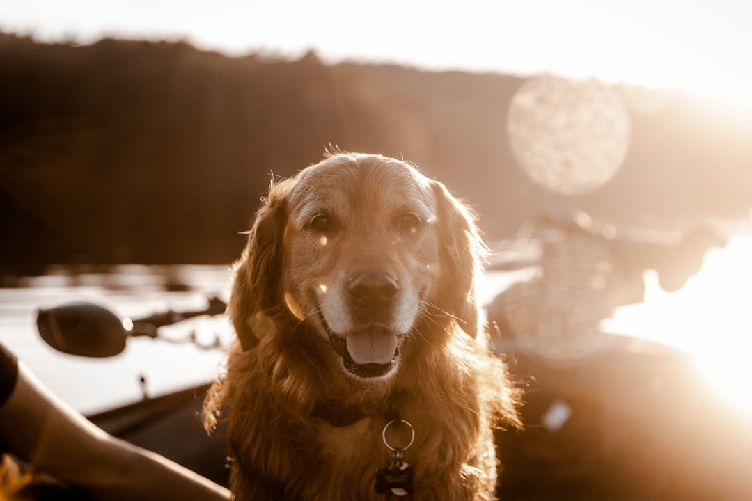 Golden Retriever Sitting On the Floor - unsplash