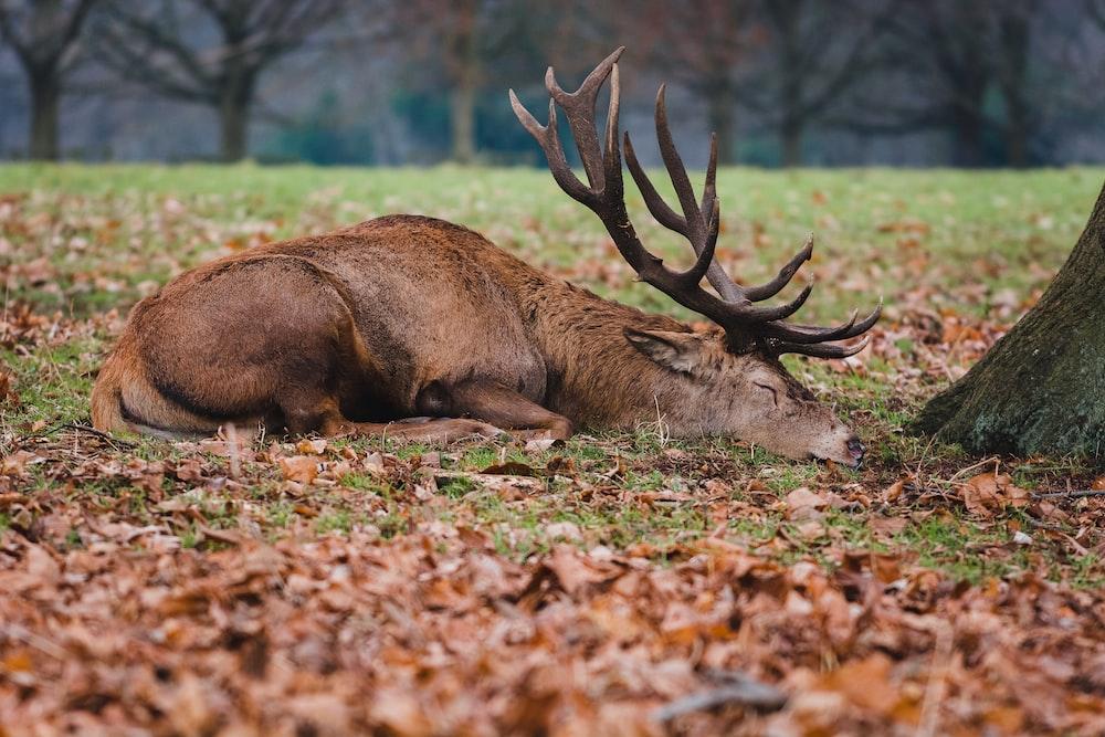 brown deer lying on brown dried leaves during daytime