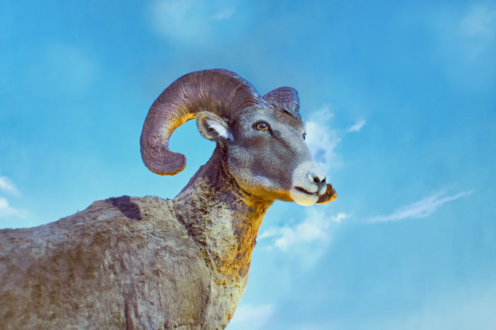 brown ram on gray rock under blue sky during daytime